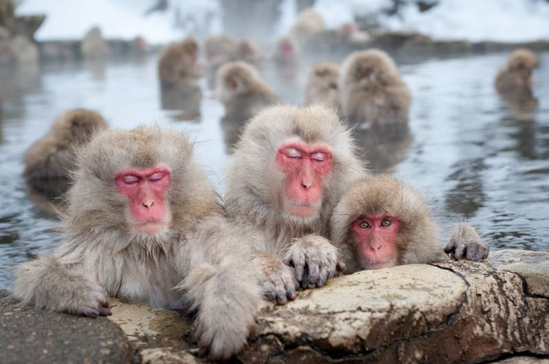 Monkeys in hot springs, Japan