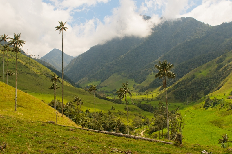 Wax palms in the Cocora valley.