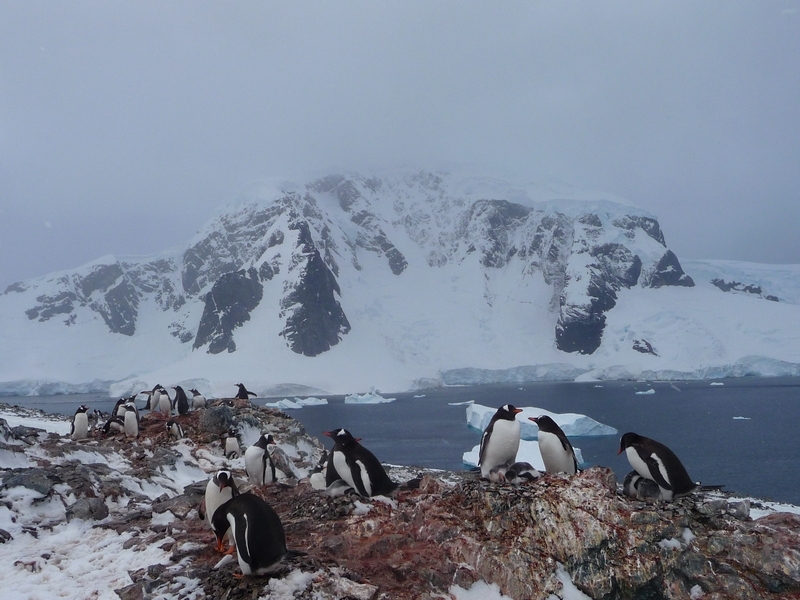 Gentoo penguin rookery on Danco Island antarctica