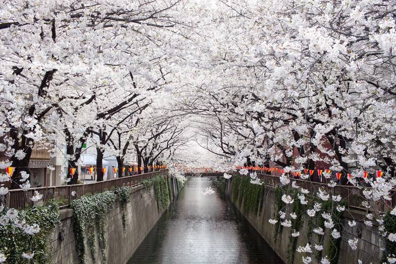 Cherry Blossom viewing Japan